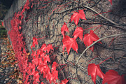 Red Leaves Prints - Clinging Print by Laurie Search