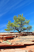Bruce Gourley - Clinging Tree in Zion...