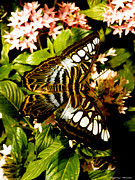 Ebsq Photo Prints - Clipper Butterfly 2 Print by Kimmary I MacLean