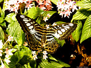 Ebsq Photo Prints - Clipper Butterfly Print by Kimmary I MacLean