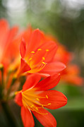 Flower Stamen Framed Prints - Clivia in the Conservatory Framed Print by Mike Reid