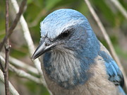 Scrub Jay Posters - Close Encounter Poster by Donna Mohler