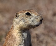 Prairie Dog Prints - Close On Prairie Dog Print by Robert Frederick