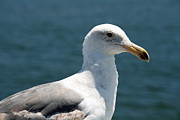 Close Seagull Print by Wendi Matson