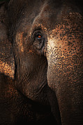 Animal Body Part Framed Prints - Close Up Face Of Thai Elephant Framed Print by presented by Zolashine