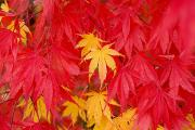 Colors Of Autumn Prints - Close-up Fall Leaves Print by Craig Tuttle