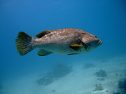 Grouper Posters - Close-up Grouper Poster by MotHaiBaPhoto Prints