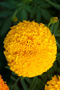 Golden Green  Background Framed Prints - Close-up Marigold Framed Print by Atiketta Sangasaeng