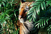 The Tiger Metal Prints - Close-up Of A Bengal Tiger ((panthera Tigris) Metal Print by Purestock
