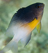 Fish Swimming Prints - Close-up Of A Bicolor Damselfish, Key Print by Michael Wood