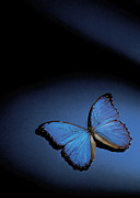 Colored Background Prints - Close-up Of A Blue Butterfly Print by Stockbyte