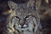 Bobcats Metal Prints - Close-up Of A Bobcat Metal Print by Dr. Maurice G. Hornocker