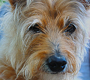 Cairn Terrier Photos - Close Up Of A Cairn Terrier by Barbara Dean