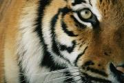 Portraits Of Animals Prints - Close Up Of A Captive Tigers Face Print by Michael Nichols