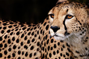 Cheetah Photos - Close Up Of A Cheetah, Maasai, Mara, Kenya by Piper Mackay