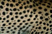 Furs Prints - Close Up Of A Cheetahs Spots Print by Michael Nichols