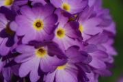 Primroses Photo Metal Prints - Close Up Of A Cluster Of Purple Metal Print by Joe Petersburger