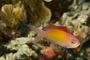 Kosrae Island Prints - Close-up Of A Colorful Fish Next Print by Tim Laman