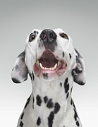 Biting Posters - Close Up Of A Dalmatian Dog Poster by Tim Macpherson