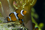 Clownfish Prints - Close-up Of A False Clownfish Print by Todd Gipstein