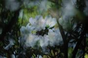 Azaleas Posters - Close-up Of A Flowering Azalea Bush Poster by Maria Stenzel