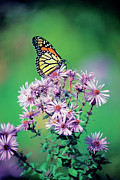 Aster  Framed Prints - Close-up Of A Monarch Butterfly (danaus Plexippus ) On A Perennial Aster Framed Print by Medioimages/Photodisc