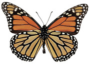 Grainy Prints - Close-up Of A Plexippus Danaus Butterfly Print by Stockbyte