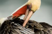 Breeding Posters - Close Up Of A Preening Brown Pelican Poster by Tim Laman