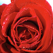 Red Flower Photos - Close-up Of A Red Rose by Stockbyte