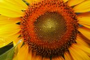 Ellicott Prints - Close Up Of A Sunflower Showing Print by George Grall