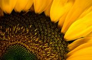 Pods Photo Framed Prints - Close-up Of A Sunflower Framed Print by Todd Gipstein