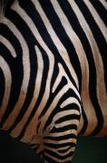 Perth Zoo Framed Prints - Close Up Of A Zebras Stripes Framed Print by Nick Caloyianis