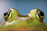 Bullfrog Posters - Close-up Of American Bullfrog Eyes Poster by Nick Harris Photography