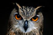 Wild Animals Framed Prints - Close Up Of An African Eagle Owl Framed Print by Joel Sartore