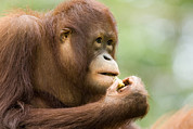 Anthropomorphism Photo Prints - Close-up Of An Orangutan Pongo Pygmaeus Print by Tim Laman