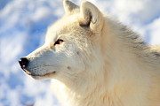 Arctic Wolf Photos - Close Up Of Arctic Wolf by David R. Tyner