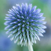 Thistle Photos - Close Up Of Blue Globe Thistle by Kim Haddon Photography