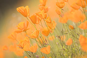 Plants Wildflowers Prints - Close Up Of California Poppies Growing Print by Phil Schermeister