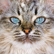 Looking At Camera Art - Close Up Of Cat Face by Daniele Carotenuto Photography