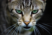 One Animal Posters - Close Up Of Cat Poster by Universal Stopping Point Photography
