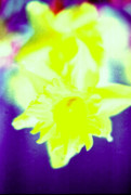 Daffodils Photographs Prints - Close-up of Daffodils Print by Sarah Biondo