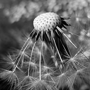 Extreme Close Up Framed Prints - Close Up Of Dandelion Framed Print by Peter Funnell