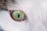 Sensory Perception Posters - Close-up of eye of domestic cat Poster by Sami Sarkis