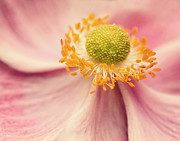 Anemone Posters - Close Up Of Flower Poster by Jody Trappe Photography