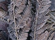 Frost Photos - Close-up Of Frosted Leaf Fronds by Mattias Klum