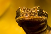 Lizards Photos - Close-up of geckos face by Roy Toft