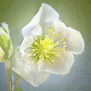 Stamen Photos - Close Up Of Hellebore by Peter Chadwick LRPS
