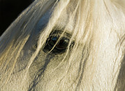 Sensory Perception Posters - Close Up Of Horses Eye Poster by Seb Oliver