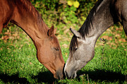 Animals Love Posters - Close Up Of Horses Poster by Ryan Courson Photography