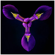 Transfer Posters - Close Up Of Iris Flower Poster by A. McKinnon Photography